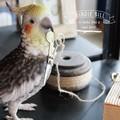 リアルな鳥のオブジェ【BIRDIE BILL】バーディ ビル ギフト 鳥 リアルアニマルズ