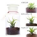 グリーンヒーリングボトル 植物セット【エアプランツ】