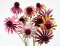 ルドベキア【造花】【ピック】