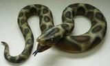メガシリーズ ニシキヘビ