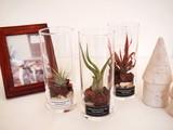 シリンダーガラス仕立 エアープランツグラス
