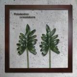 インテリアグリーンアート/ForestDeco Philodendron cv.kookaburra