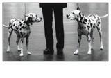 ART UNLIMTED ポストカード <犬×ダルメシアン>