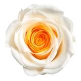 【プリザーブドフラワー】ヴェルメイユ アイネスシスターミニョン(8輪入り)