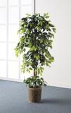 【直送可】【送料無料】インテリアグリーン 2点セット(ベンジャミン&幸福の木)