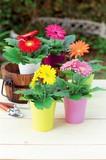 ガーベラ / お花 鉢植え ガーベラ