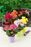 ベゴニア / お花 鉢植え ベゴニア
