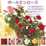 ポールセンローズ / お花 鉢植え ローズ