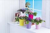 セントポーリア / お花 鉢植え