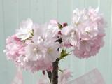 リビングで花見はいかがですか? 桜本格盆栽
