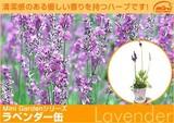 全草に香りがあり、化粧品などにも利用される<br>ハーブ缶「ラベンダー」