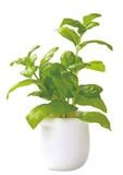 Interior Plant Basil