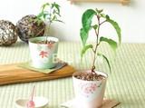 【Collection Catalog】盆栽栽培セット 和 日本 プレゼント お土産 もみじ 紅葉 さくら 桜