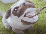 猫と犬のメガネスタンド パグ ダックス 柴
