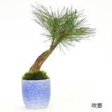 松・三本 /ぐいのみ(伊賀錆吹)(吹墨)【カップボン】【フェイクグリーン/artificial plants】