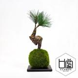 松・三本/苔玉(黒皿)【カップボン】【フェイクグリーン/artificial plants】