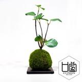 ギンモクセイ/苔玉(黒皿)【カップボン】【フェイクグリーン/artificial plants】