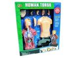 キモっ!人体の不思議。人体模型【HUMAN TORSO】